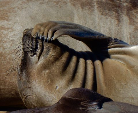 Elephant seal at Ano