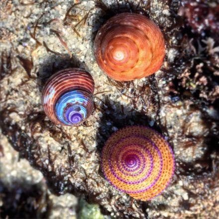 DanielleCrook.TopshellTrifecta.GloriousTopsnail.Calliostoma-gloriosa-blue-topsnail-calliostoma-ligatum-ringed-topsnail-calliostoma-annulatum-Lover-768x768.jpg