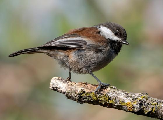 Chestnut-backed_Chickadee_Doug_Greenberg_FCC_web.jpg