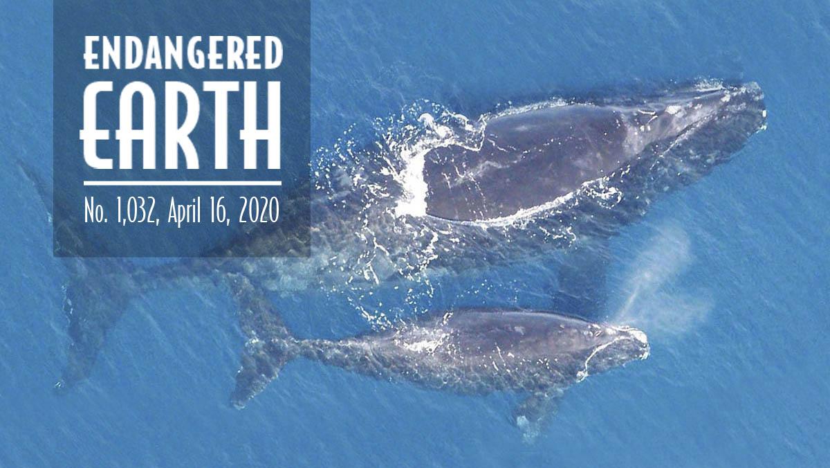 North-Atlantic-right-whale-NOAA-1200x676-eeo.jpg