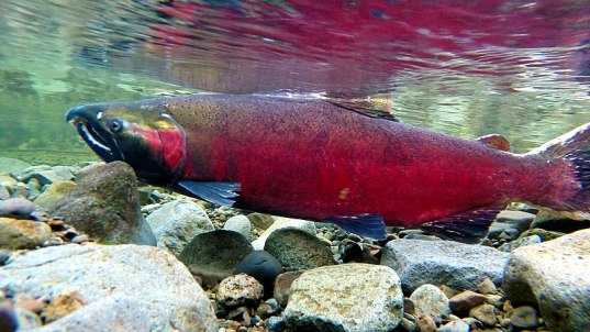 800px-Coho_Spawning_on_the_Salmon_River_(16148779468)