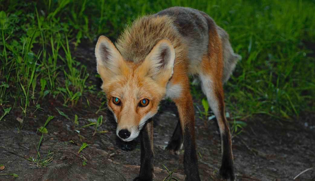 fox-David-Cameron-Flickr 2.jpg