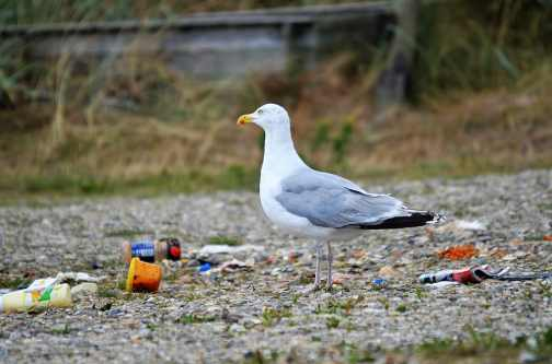 garbage-gull-bird-in-the-garbage-bird.jpg