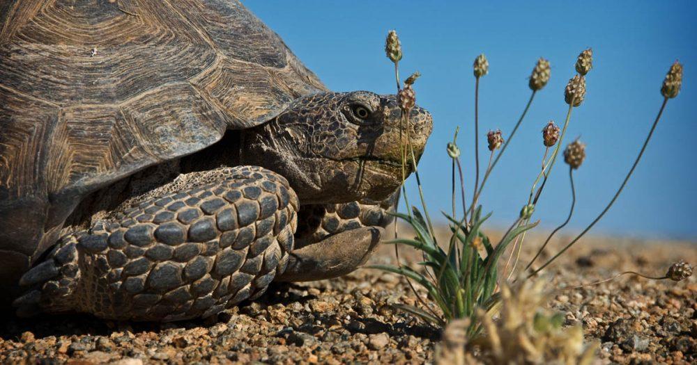 desert-tortoise-Flickr-sandy-redding-1200x630-2