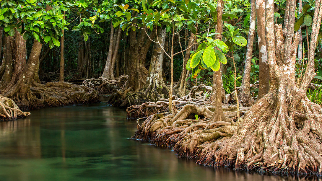 Mangroves-and-their-role-to-ecology