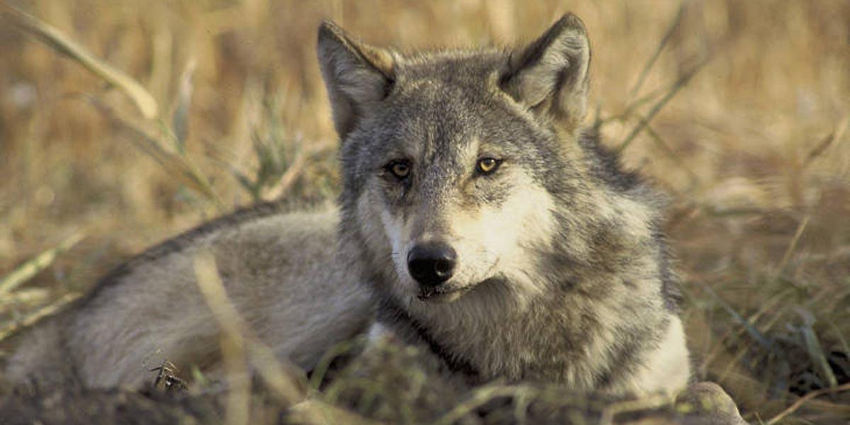 wolf-John-and-Karen-Hollingsworth-USFWS