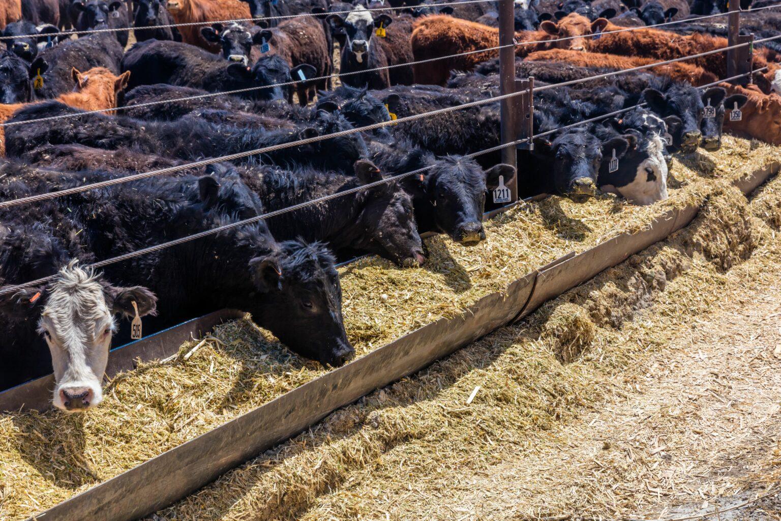 Cattle - Hereford eating hay in cattle feedlot, La Salle, Utah