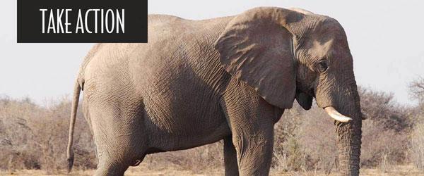 RSAfrican_savannahelephant6