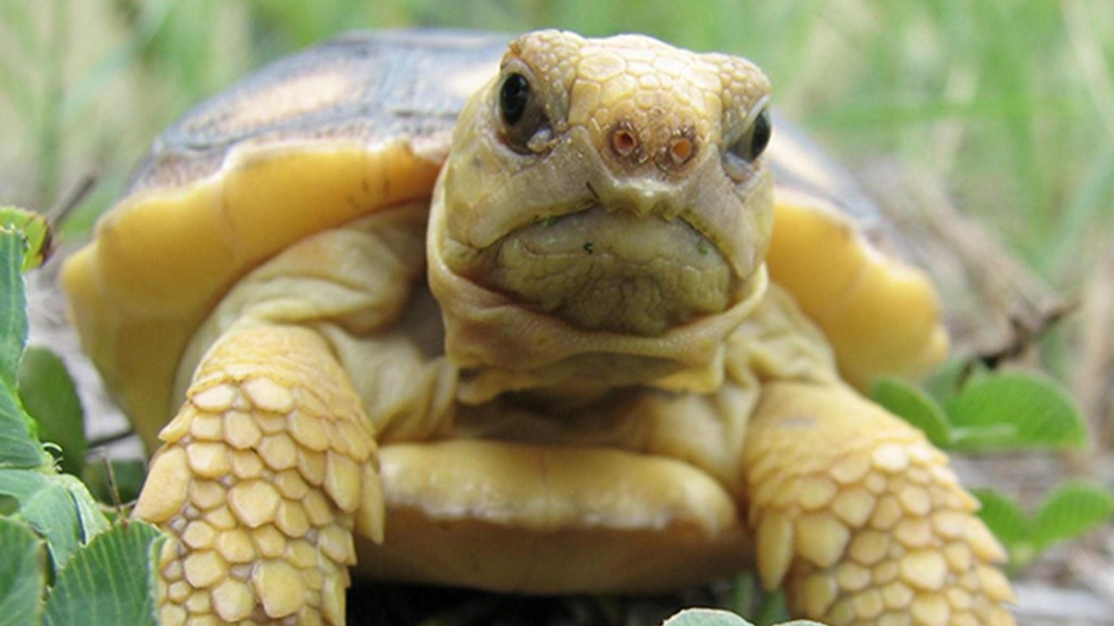 gopher-tortoise-chris-potin