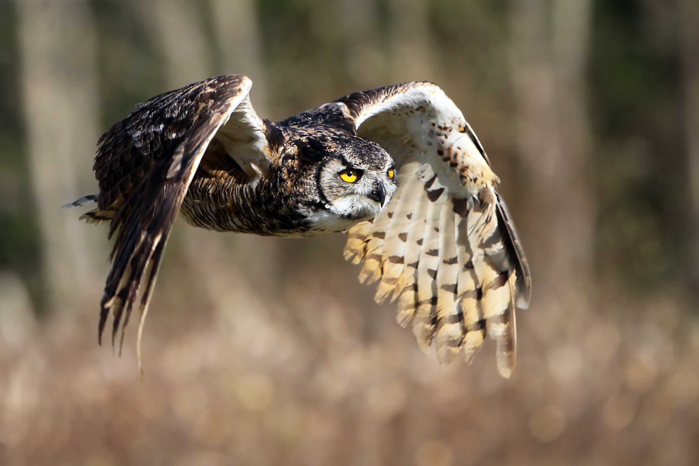 Great-Horned-Owl_cMLaurenz