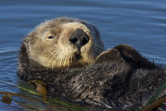 S. Sea Otter (Enhydra Lutis)