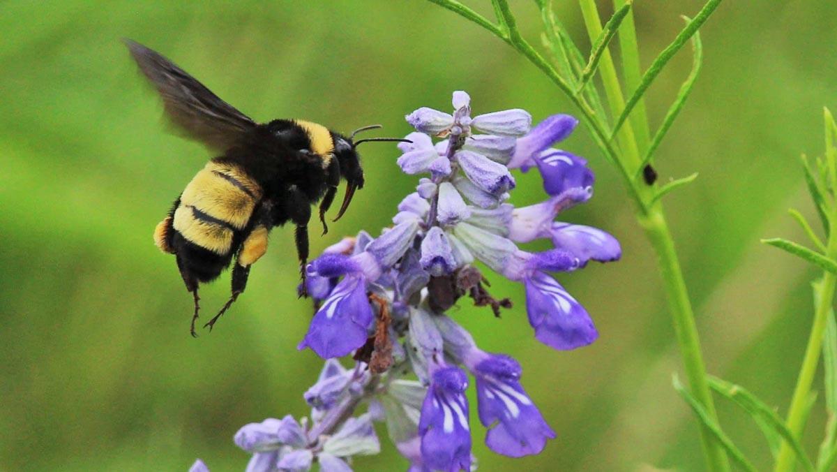 American-bumblebee-Matthew-Allen-iNaturalist