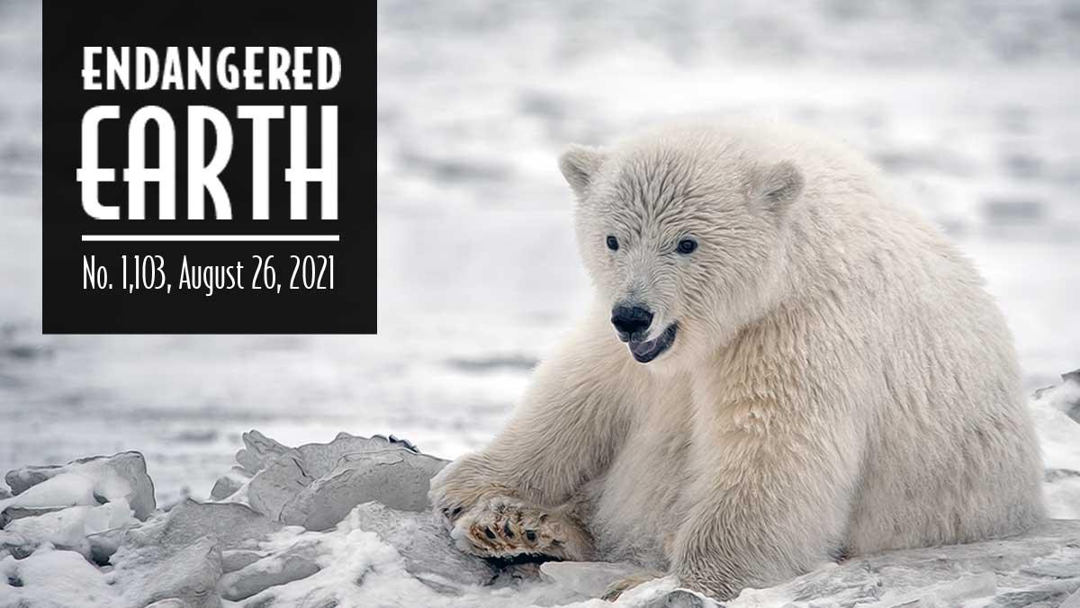 polar-bear-by-Alan-D-Wilson-Natures-Pics-Online